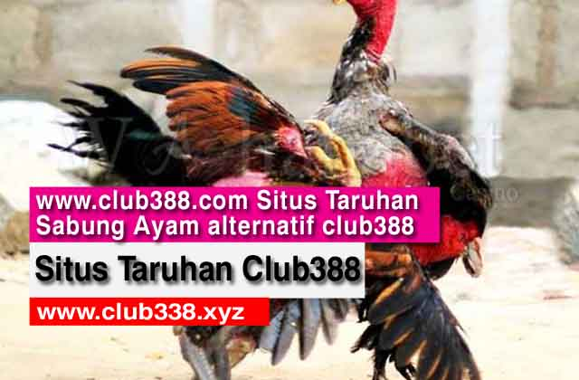 Club388 - Situs Taruhan Sabung Ayam alternatif club388